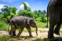 Mother and Baby elephant in protected park, Chiang Mai, Thailand