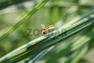 Schwebfliege auf einem Grashalm