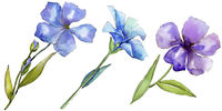 Watercolor blue and purple flax flowers. Floral botanical flower. Isolated illustration element.
