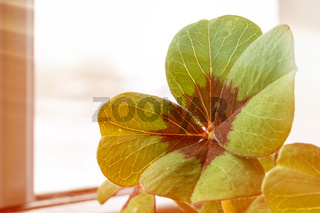 Image of lucky clover in a flowerpot with sunbeams