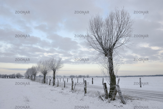 Pollard willow trees ( Salix sp. ) along a little road in winter, Germany