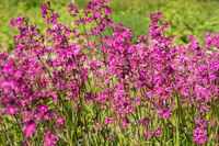 Flowers Viscaria
