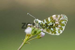 Aurorafalter (Anthocharis cardamines) (8)