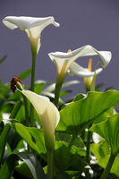calla lily or arum lily