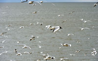 A flock of Black-headed gull (Chroicocephalus ridibundus) flying above the North Sea