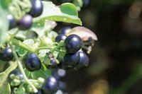 Fruits of a Garden Huckleberry
