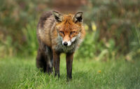 European Red Fox, Germany