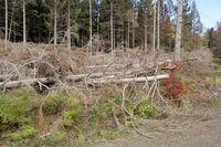 Windthrow, storm damage, Harz Mountains, Germany