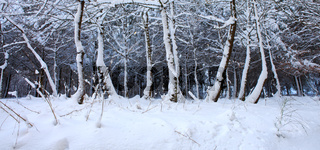 Winter trees with snow in germany forest.
