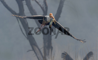 Painted stork, Mycteria leucocephala, Keoladeo National Park, Bharatpur, India