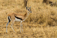 thomson gazelle in savanna grass