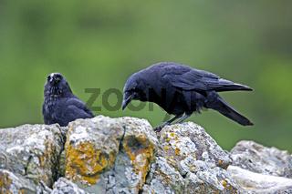 Sundkraehe / Corvus caurinus