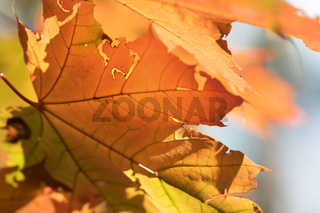 Maple tree with orange leaves in autumn forest at nice sunny day