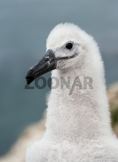 Close up of a Black-browed Albatross chick