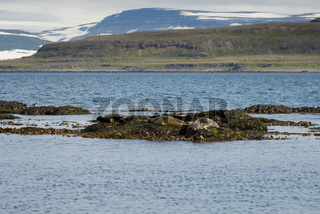 Seals resting on seaweeds at Westfjords peninsula, Vigur Island, Iceland. Shallow depth of focus