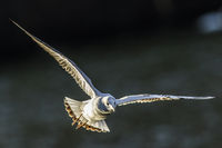 Mire crow (Larus ridibundus)