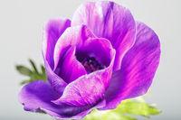 plant portrait, anemone