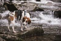 Beagle with mountain stream