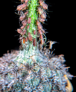 Plant lice on a thistle
