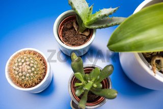 Indoor trending various green house plants ceramic pots on blue background, top view modern design