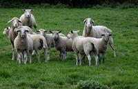 Schafe (Ovis) auf einer Wiese