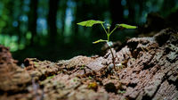 Young maple on a dead tree trunk in the Thuringian Forest in Germany