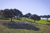 Sheeps in the Extremadura, Spain.
