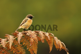 European stonechat perching on a fern