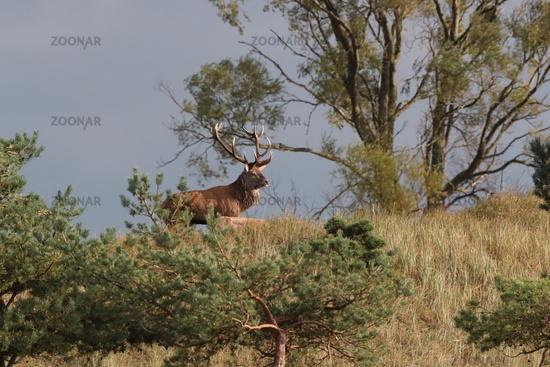 Redd Deer on the darss, mecklenburg  pomerania, Germany
