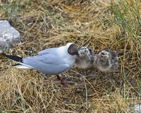 Two chicks of a Black-headed gull (Chroicocephalus ridibundus) waiting for fodder,Germany