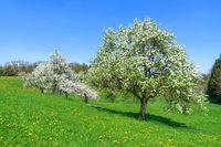 Blooming fruit trees on a sloping flower meadow