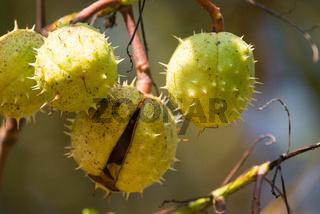 Kastanienbaum, Aesculus hippocastanum