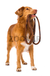 Dog with a leash on white background