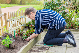 Dutch elderly woman planting perennial in garden