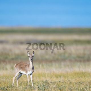 tibetan gazelle on grassland