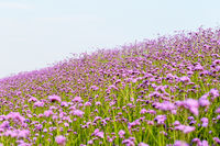 beautiful purple flower field