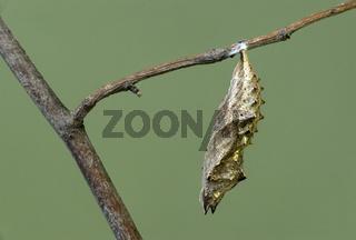 Puppe des Schmetterlings Kleiner Fuchs (Aglais urticae)