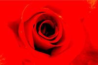 Closeup of Rose Flower