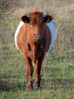 Dutch belted cow in a not cultivated environment