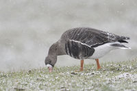 Greater White-fronted Goose * Anser albifrons * in winter, feeding, winter, snowfall