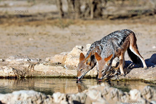drinking black-backed jackals, Kgalagadi Transfrontier National Park, South Africa