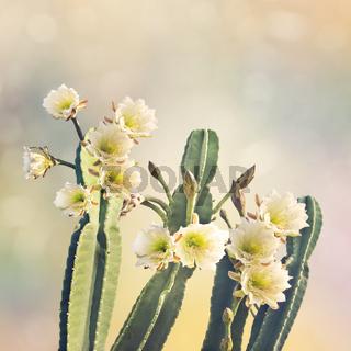 San Pedro Cactus Bloom