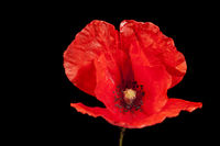 Papaver rhoeas_poppy horizontal