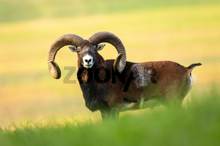 Full frame of careful mouflon with big horns listening carefully in summertime