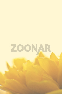 yellow flower petals with copy space