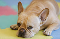 Frenchie Resting on a colorful carpet.