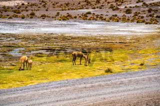 Vicunas grazing on the shore of Canapa Lake at Bolivian Plateau