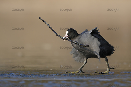 Black Coot  * Fulica atra * collecting nesting material