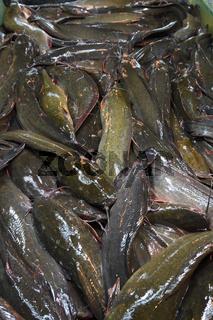 lebende Welse, Catfish auf dem Banzaan fresh market, Patong Beac