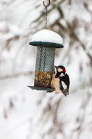 Bird feeders in the winter with a Great Spotted Woodpecker